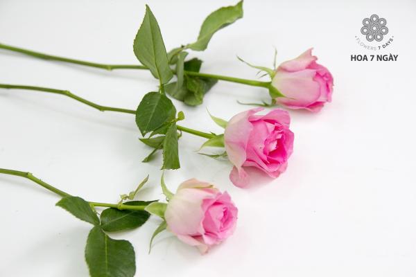 Những bông hồng dâu tuyệt đẹp