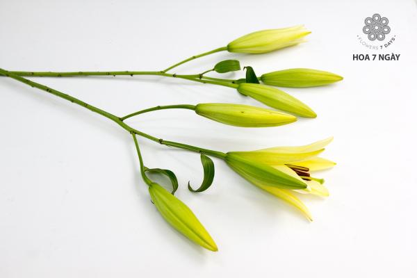 Hoa lys