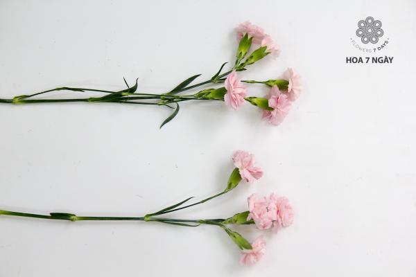 Sắc cẩm chướng hồng