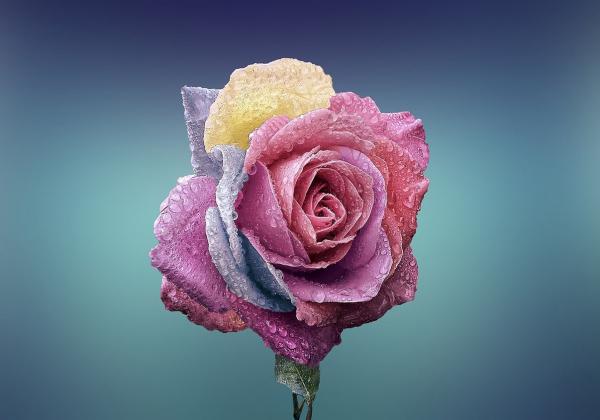 Ý nghĩa của hoa hồng-Hoa 7 ngày