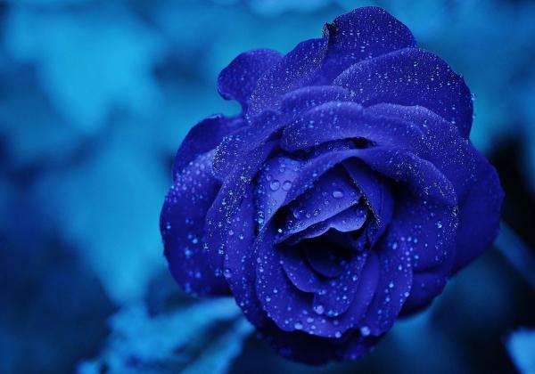 Ý nghĩa hoa hồng xanh-Tình yêu vĩnh cửu - Hoa 7 ngày