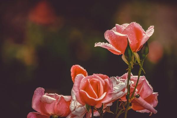 Bộ ảnh đẹp về hoa hồng  - Hoa 7 Ngày
