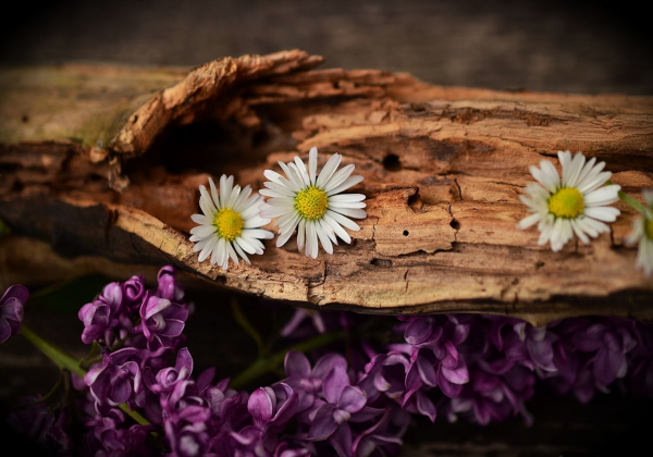 Ý nghĩa hoa cúc - Hoa 7 Ngày