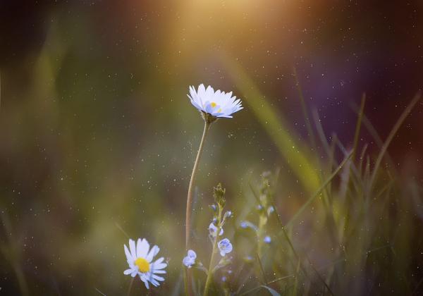 Tôi thấy hoa vàng trên cỏ xanh- Hoa 7 Ngày