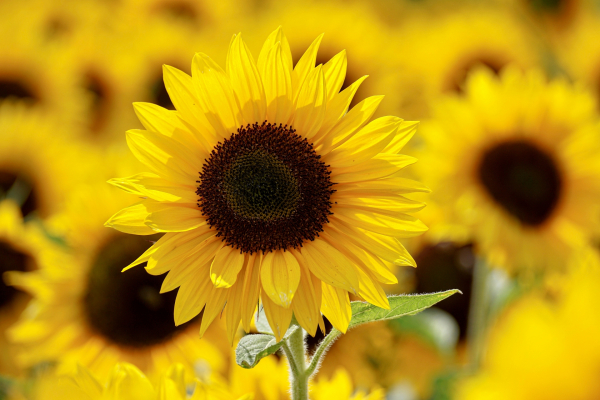 Ý nghĩa hoa hướng dương - Hoa 7 Ngày