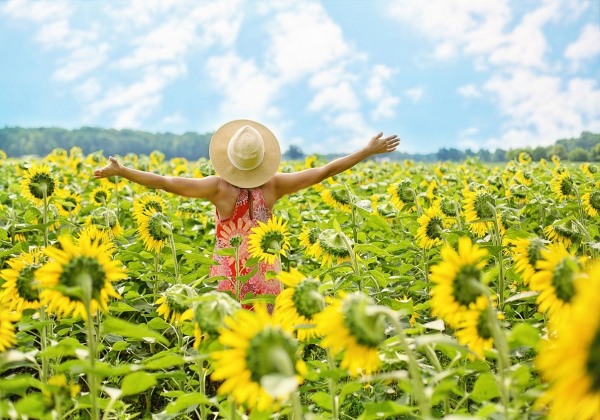 Những cánh đồng hoa hướng dương lớn  - Hoa 7 Ngày