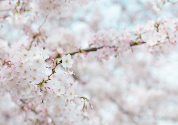 Hoa xuân trong nỗi nhớ của người con xa xứ  - Hoa 7 Ngày