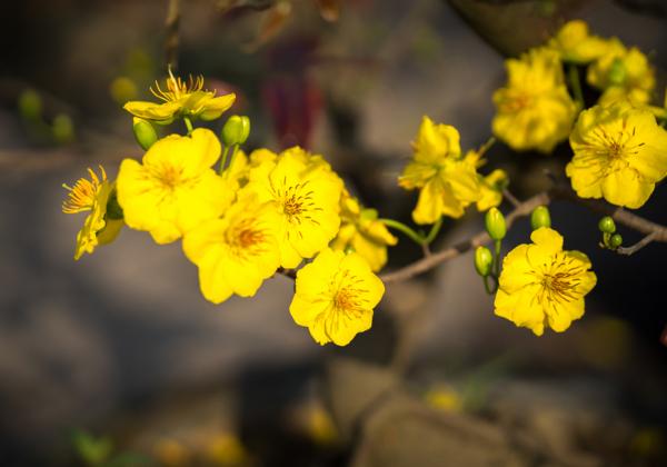 Ý nghĩa hoa mai- Quyền quý, cao thượng- Hoa 7 Ngày