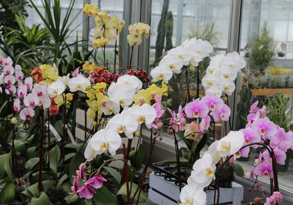 Những loại hoa lan đáng chơi vào dịp tết - Hoa 7 Ngày