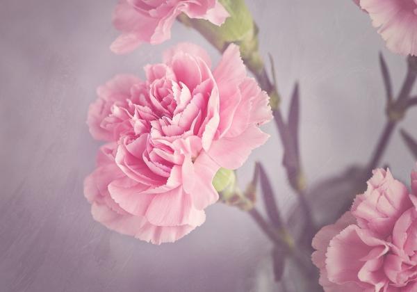 Ý nghĩa hoa Cẩm Chướng bạn chưa biết - Hoa 7 Ngày.