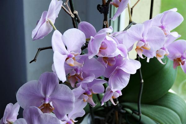 Khám phá 3 cách giữ hoa lan tươi lâu cùng Hoa 7 Ngày