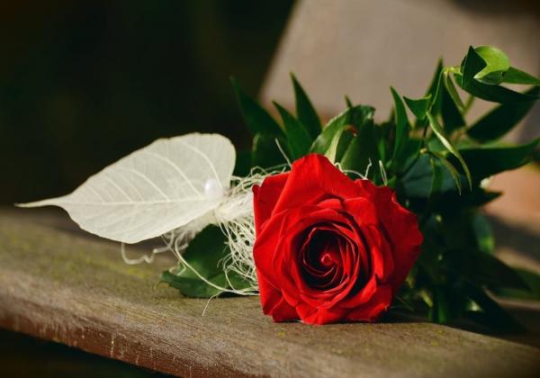 Những điều thú vị chưa biết về hoa hồng đỏ - Hoa 7 ngày