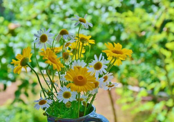 Bật mí những ý nghĩa hoa dã quỳ- Hoa 7 Ngày