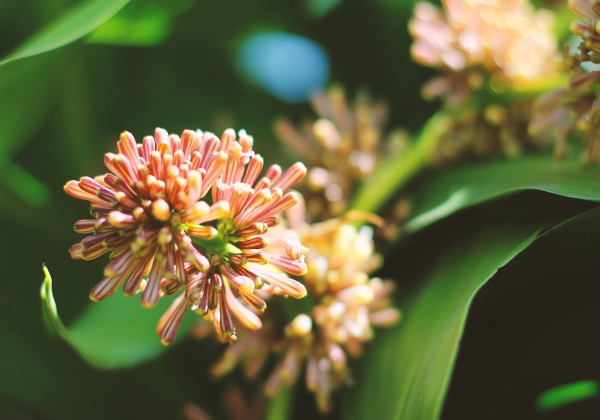 Những loại cây phong thủy tài lộc- Hoa 7 Ngày