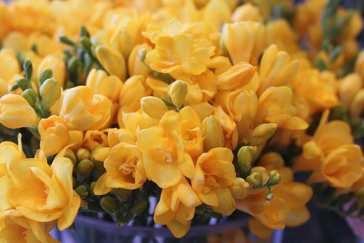 Ý nghĩa về hoa lan Nam Phi-Hoa Tri Kỷ- Hoa 7 Ngày.